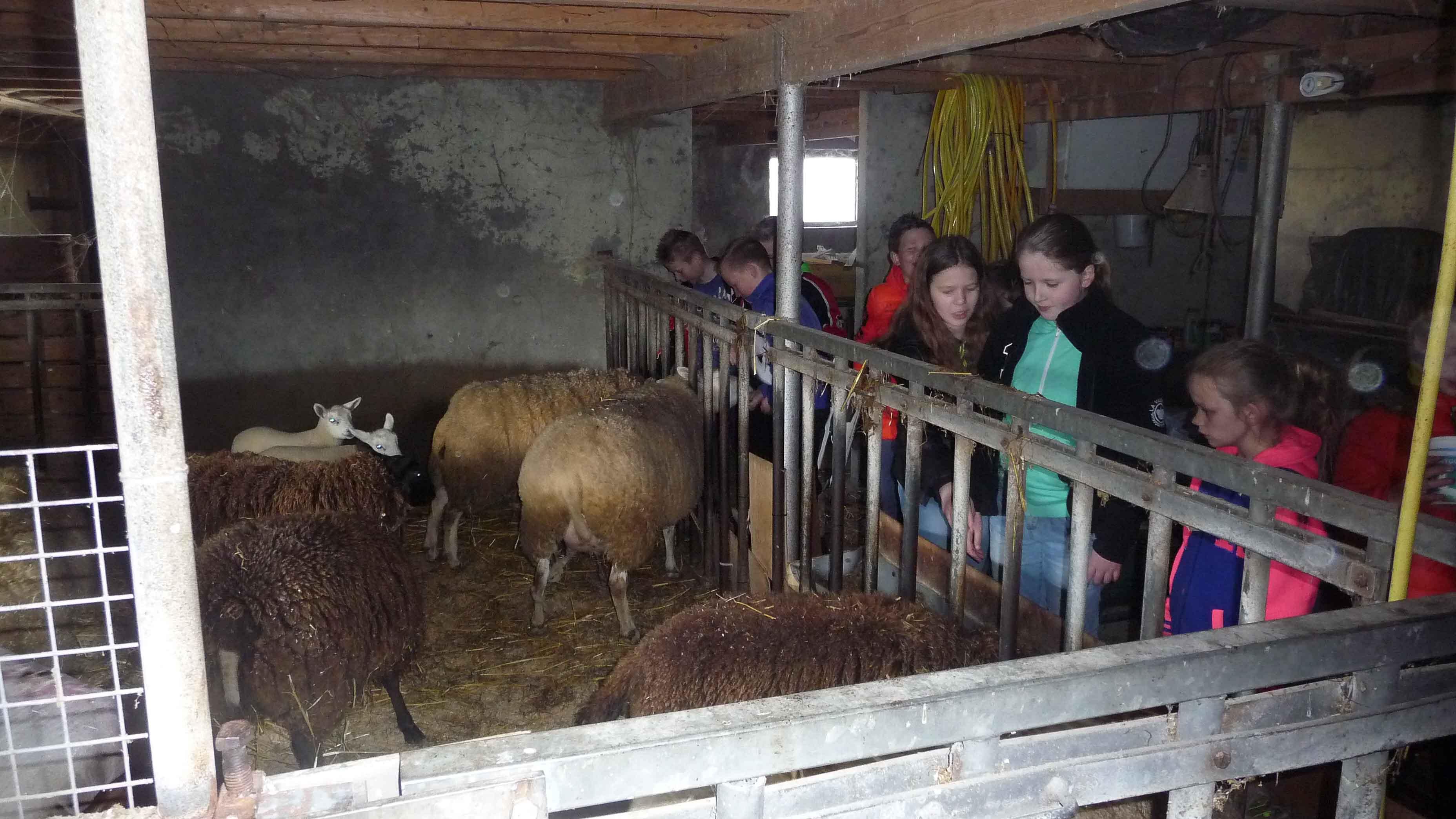 De schapen en lammetjes worden bewonderd.